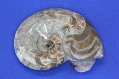 Ammonitt  Imotoceras  Devon ca 380mill år fra Marokko 115g 6×7.5cm