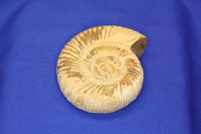 Ammonitt A Fam: Perisphinctes Tid: Jura ca 200mill år fra Tulear i Madagaskar 180g 6.5x8cm