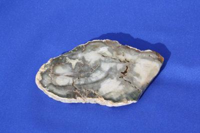 Forsteinet tre A Trias ca 225mill. år 90g 9cm ca 1cm tykk fra Ambilobe på Madagaskar