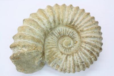 Ammonitt 3.4kg 17x21cm  Kritt ca 85mill år Agardir Marokko