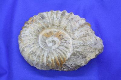 Ammonitt 0.8kg 10x13cm  Kritt ca 85mill år Agardir Marokko