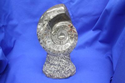 Ammonitt B polert på fot 1.8kg 21cm høy