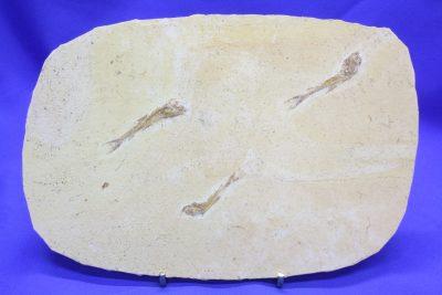 Fossil fisk A Dastilbe  ca 110mill år Fra Nova Olinda Ceara i Brasil 300g 13x20cm