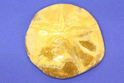 Sjøpinnsvin B polerte Mepygurus Depressus 110g 2x7cm Tid:Jura ca 165mill år fra Madagaskar