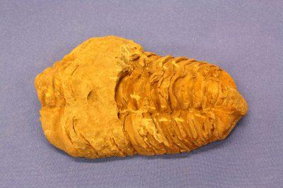 Trilobitt E Flexicalymene 85g 5×8.5cm Silur ca 430mill år fra Alnif i Marokko