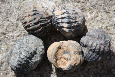 Trilobitt Fam: Phacops SP 3 til 4cm Tid: Devon ca 380mill år fra Erfoud i Marokko
