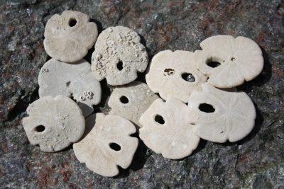 Sjøpinnsvin fossil Encope ca 4cm Tid: Pliocen ca 3mill år fra Labelle Florida