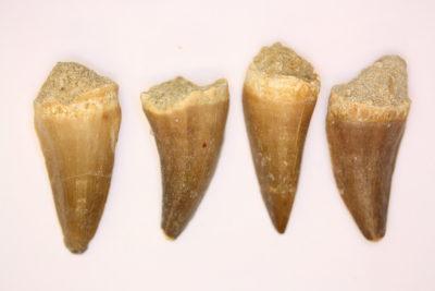 Mosasaurus tann 3 til 4cm Tid: Kritt ca 86mill. år fra Khouribga Marokko