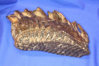 Mammut kinntann 2.2kg 14x20cm fra Nordsjøen utenfor Belgia ca 60000 år