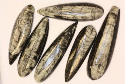 Orthocer  polert 5 til 6cm Devon Ca 400 mill. år fra Marokko