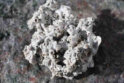 Ishavs korall  ca 11200 år gam. fra Mjøndalen i Nedre Eiker 0.4kg 10x12cm