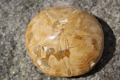 Sjøpinnsvin polerte Mepygurus Depressus 170g 3x8cm Tid: Jura ca 165mill år fra Madagaskar
