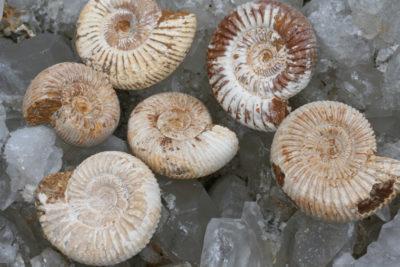 Ammonitt Fam: Perisphinctes Tid: Jura ca 200mill år Fra Tulear i Madagaskar  4 til 5cm store