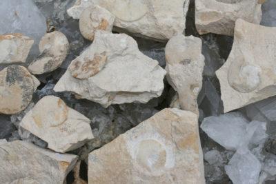 Ammonitt i moderstein 6 til 10cm fra Frankrike