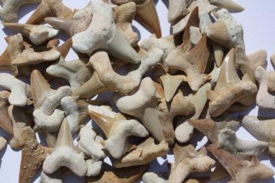 Haitann fossil 3 til 4cm