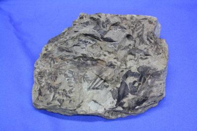 Plantefossil 1kg 12x14cm ca 60mill år fra Longyearbreen Svalbard