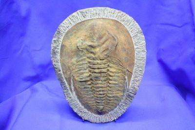 Trilobitt B Paradoxides Kambrium ca 500mill år Marokko 1.3kg 16x20cm