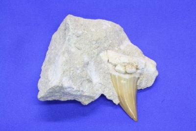Haitann B Otodus obliguus Tid: Paleocen Eocen  ca 50mill år fra Ouled Abdoun i Marokko 180g 7x8cm tann 4cm