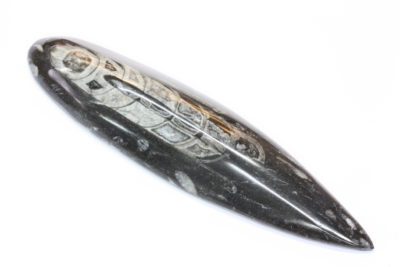 Orthoceras C 170g 4×16.5cm Fossil blekksprut Devon ca 400mill. år fra Erfoud i Marokko