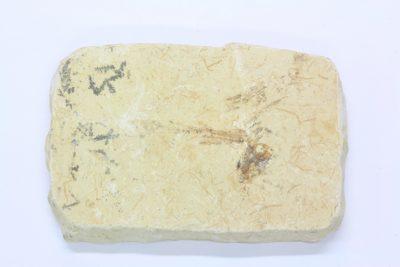 Fossil fisk A Dastilbe ca 110mill år Fra Nova Olinda Ceara i Brasil 60g 4.5x7cm