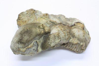 Brachiopoder 220g 7x9cm Tid: Ordovicium ca 460mill år fra Dalarne i Sverige