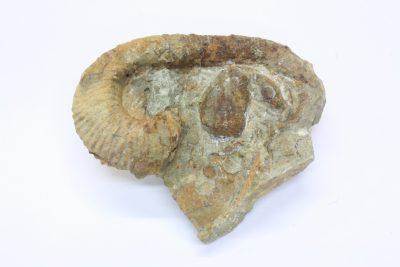 Fossil Blekksprut Macroscaphites yvani 120g 6x8cm Undre Kritt ca 110mill år fra Alma i Marokko